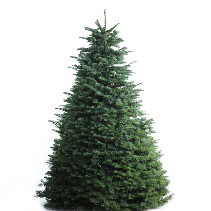 Where To Cut Christmas Trees: 7-ft To 8-ft Fresh-Cut Noble Fir Christmas Tree At Lowes.com