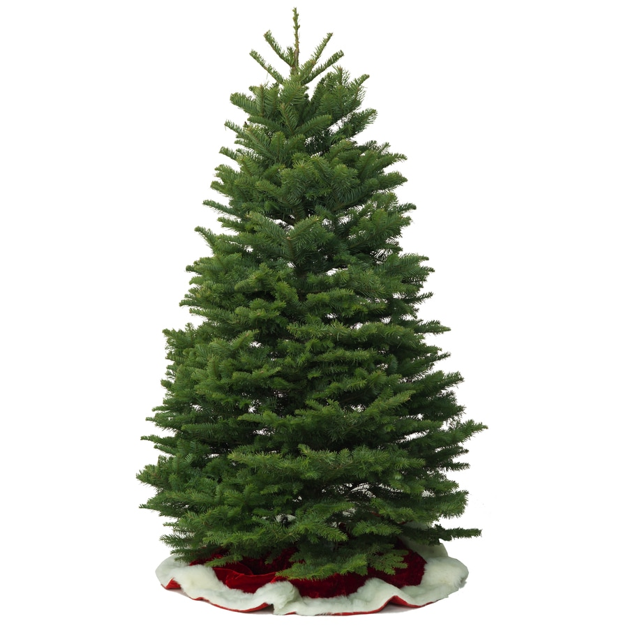 Real Christmas Trees Lowes: 10-11 Ft Noble Fir Real Christmas Tree At Lowes.com