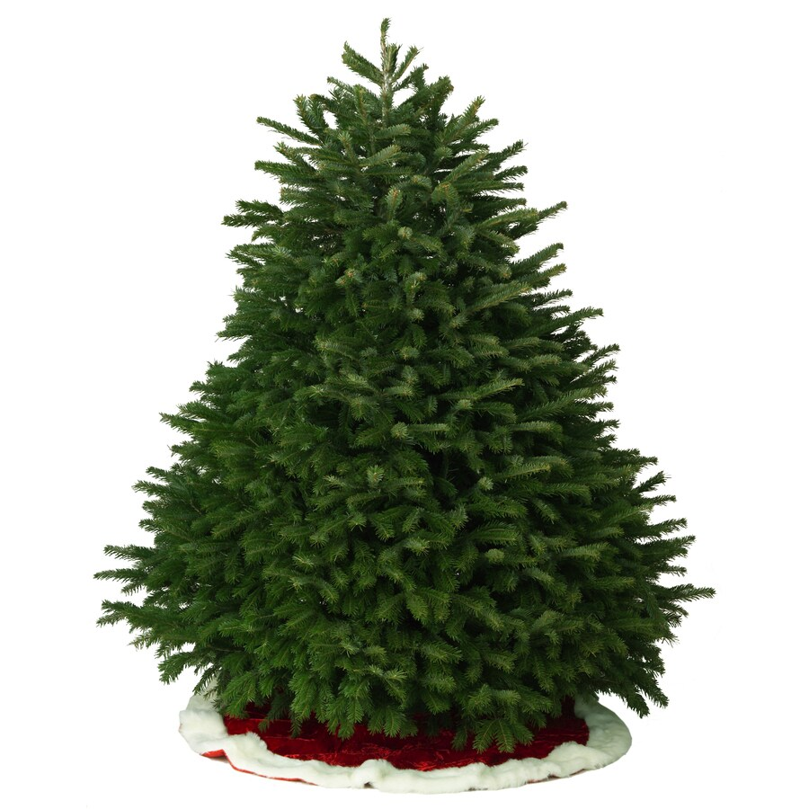 Shop 6 7 Ft Fresh Nordmann Fir Christmas Tree At
