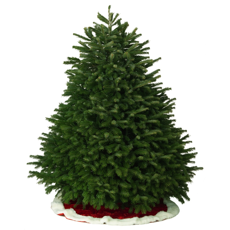 Shop 7-8-ft Fresh Nordmann Fir Christmas Tree at Lowes.com