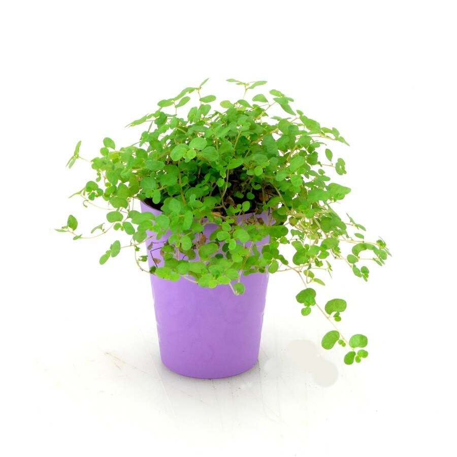 3 oz Assorted Foliage in Planter (41033)