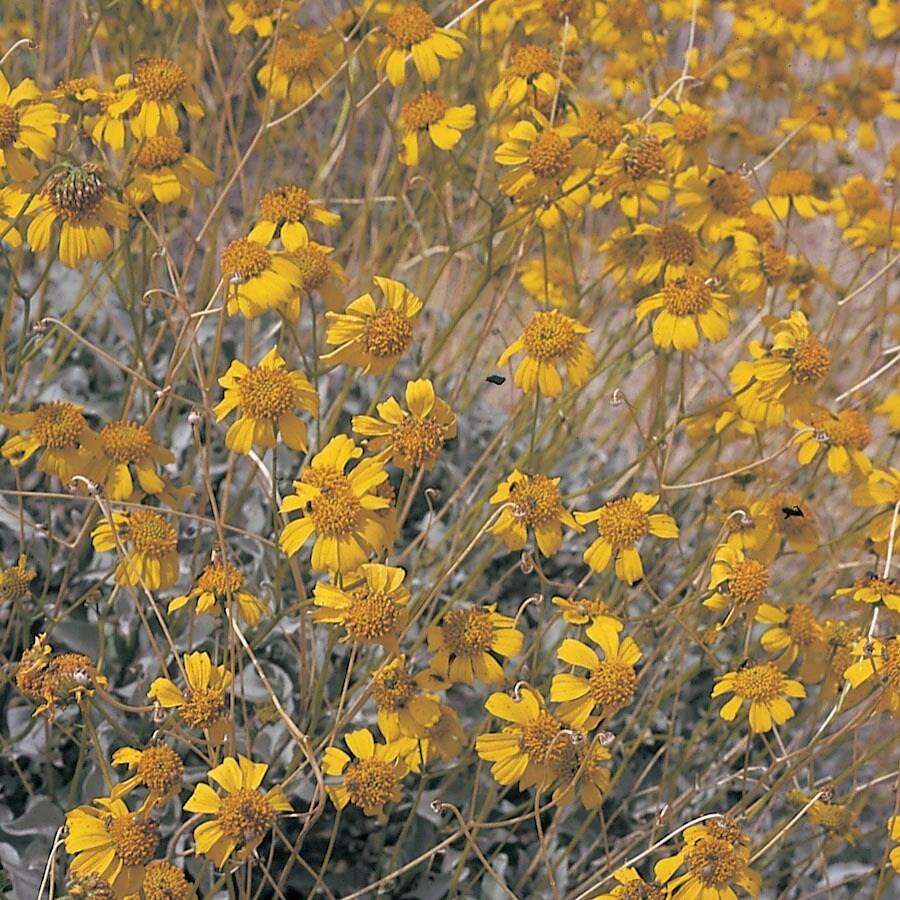 3.5-Gallon Yellow Brittle Bush Accent Shrub (L11718)