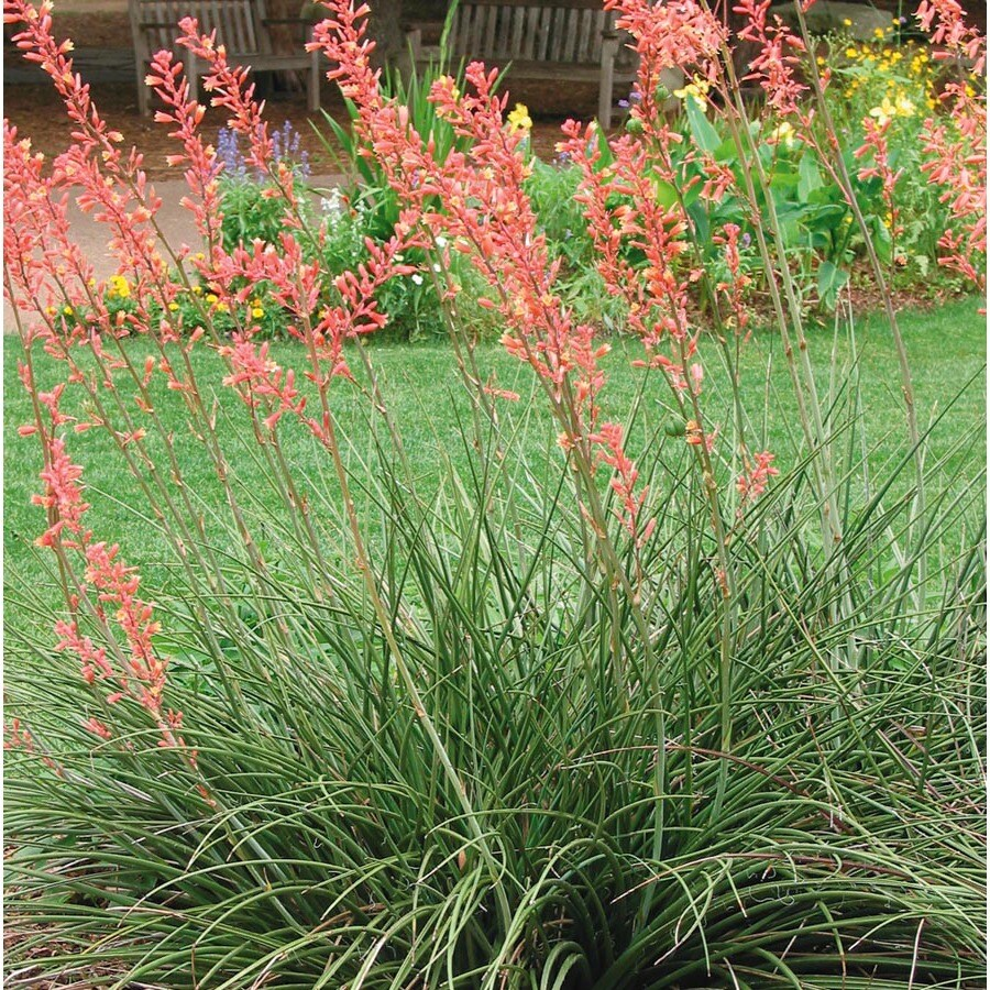 2.25-Gallon Red Red Yucca Feature Shrub (L7029)