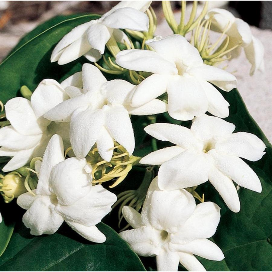 2.25-Gallon White Arabian Jasmine Flowering Shrub (L5922)