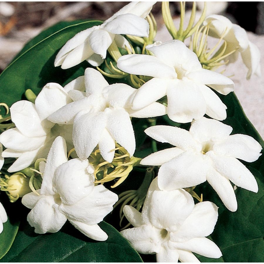3.5-Gallon White Arabian Jasmine Flowering Shrub (L5922)