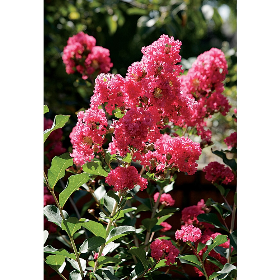 3.58-Gallon Crape Myrtle Flowering Tree