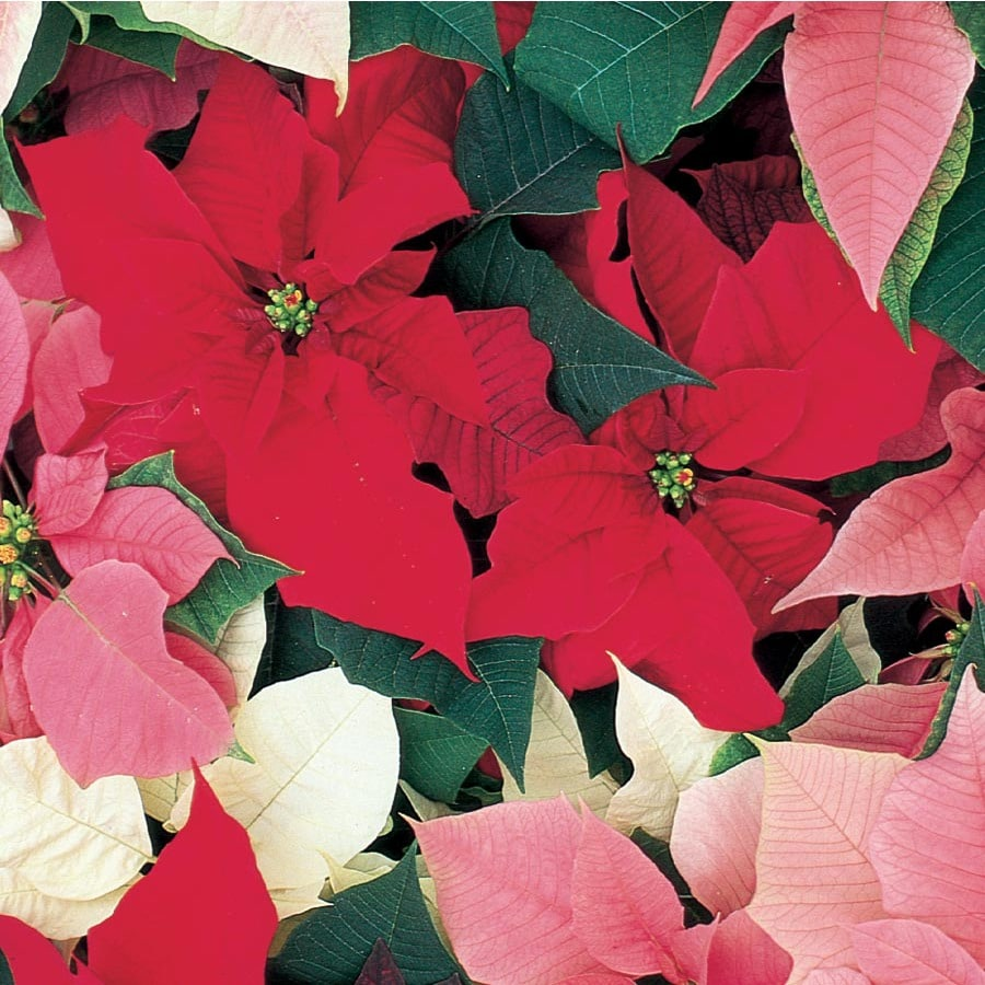 3.5-Gallon Poinsettia (L17756HP)