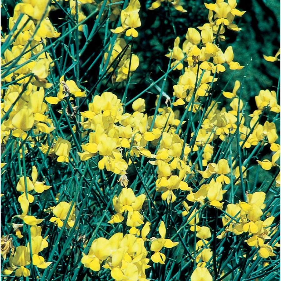 3.5-Gallon Yellow Spanish Broom Flowering Shrub (L5956)