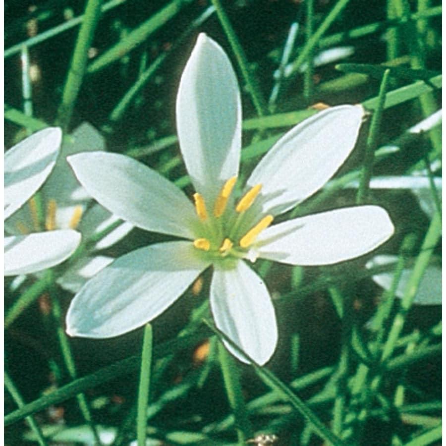 2.25-Gallon Zephyr Lily (L4977)