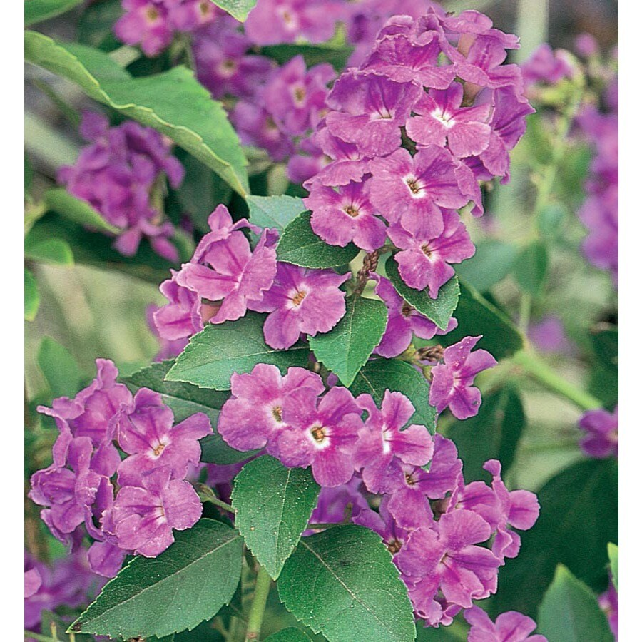 2.25-Gallon Lavender Golden Dew Drops Flowering Shrub (L7051)