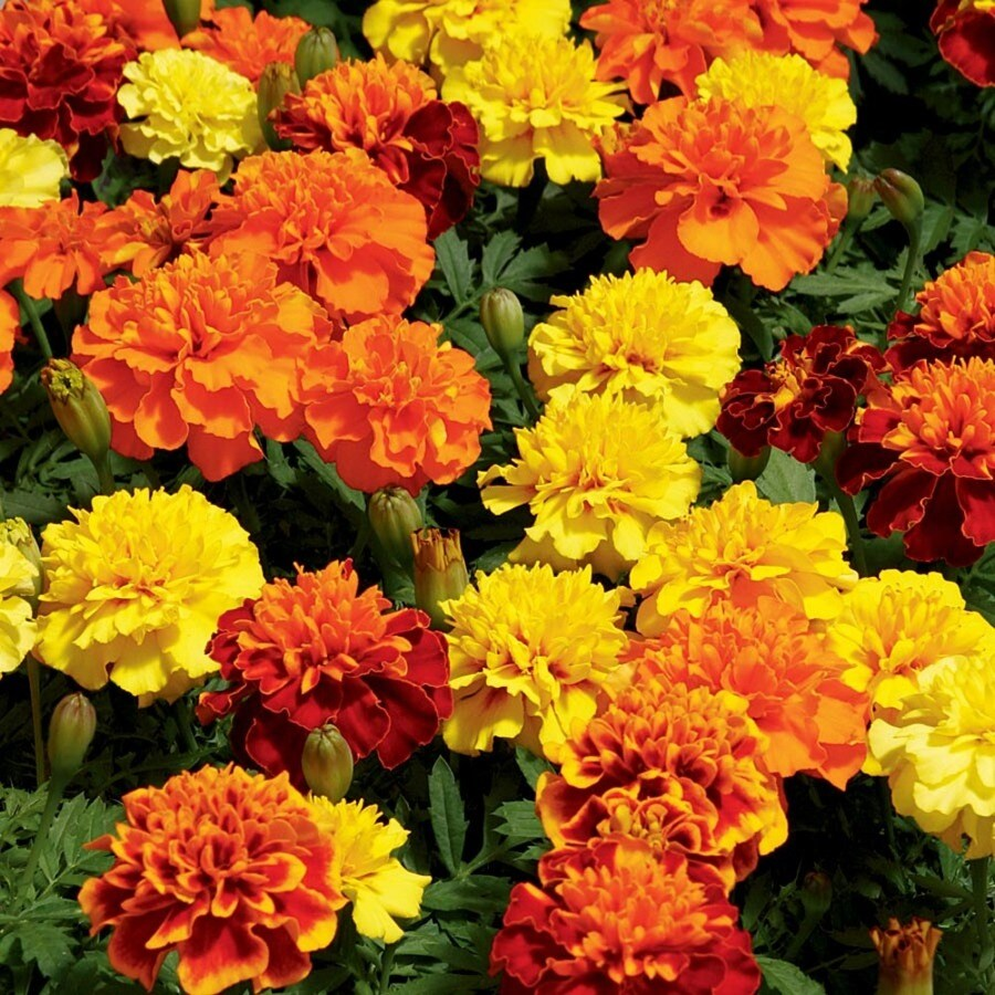 2.25-Gallon Temporary French Marigold (Dwarf) (L17086)
