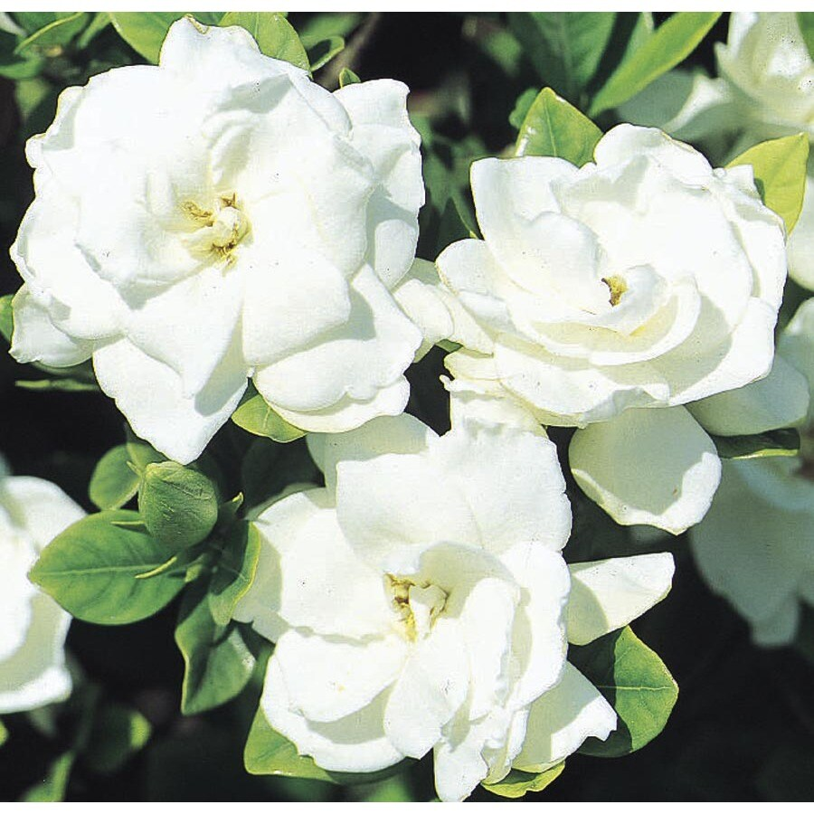 2.5-Gallon White Veitchii Gardenia Flowering Shrub (L10719)