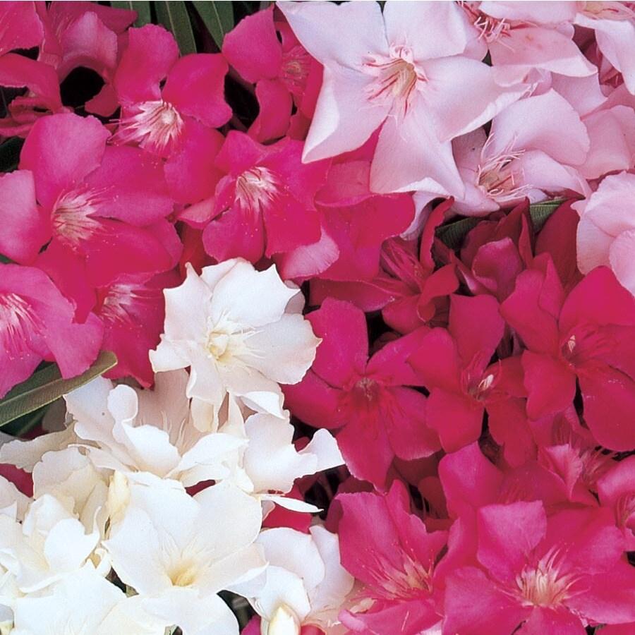 28.5-Gallon Mixed Oleander Flowering Shrub (L0056)