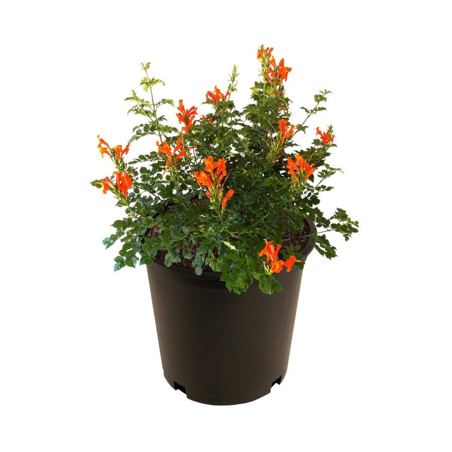 2 65 Gallon Multicolor Esperanza Flowering Shrub In Pot