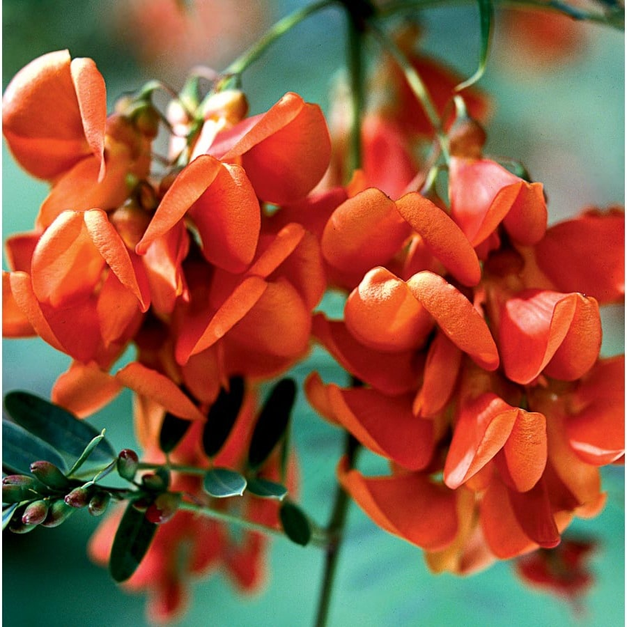 10.25-Gallon Orange Rattlebox Flowering Shrub (L22448)