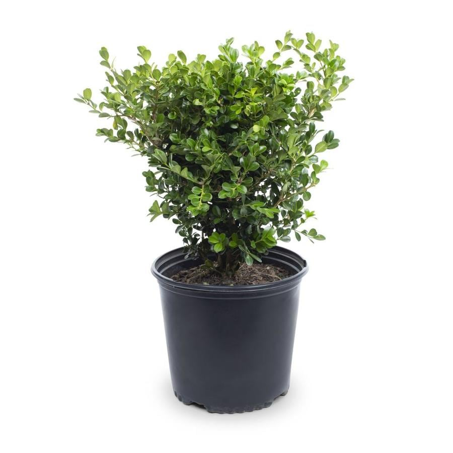 Japanese Boxwood Foundation Hedge Shrub In Pot With Soil