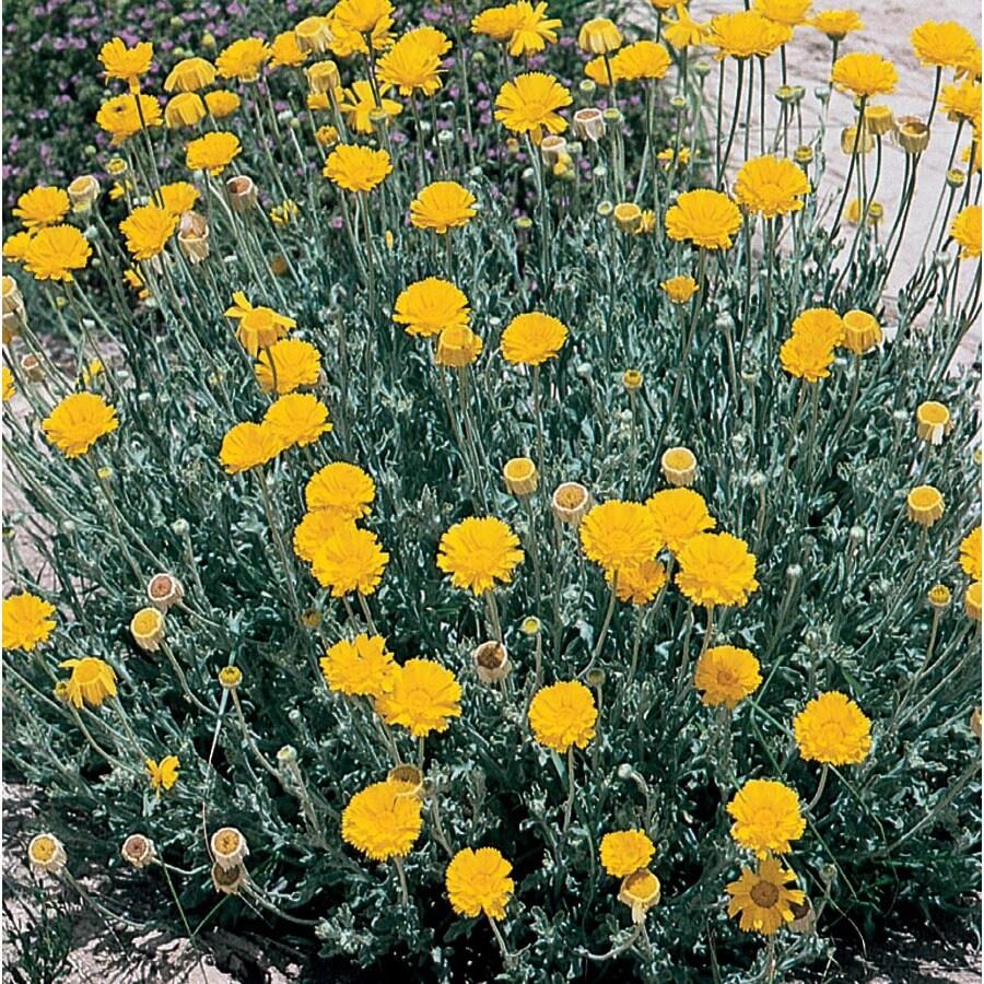 2.5-Quart Desert Marigold (L14551)