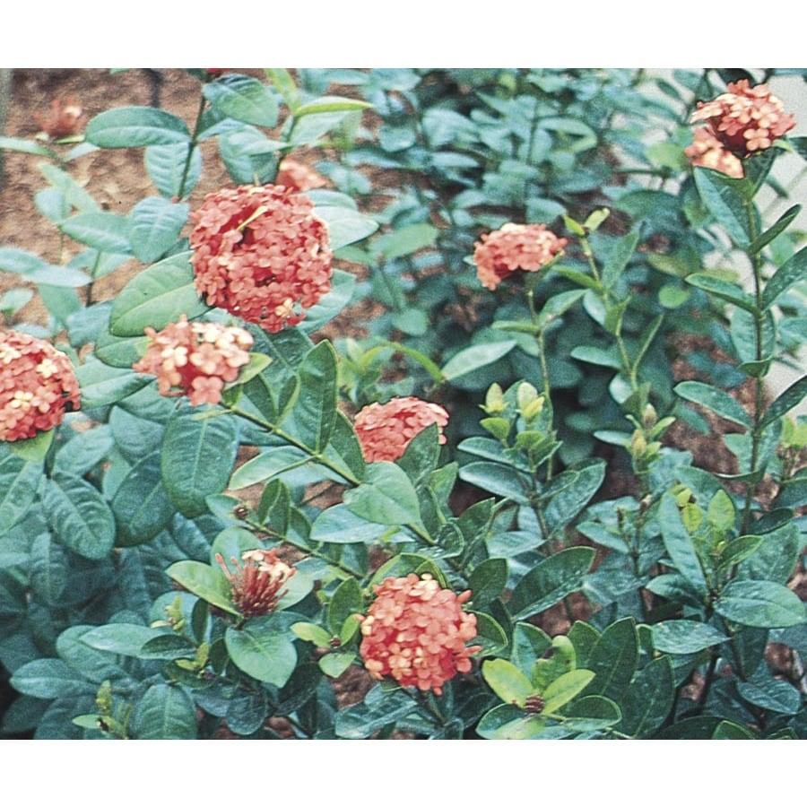 1.25-Quart Mixed Ixora Flowering Shrub (L4348)