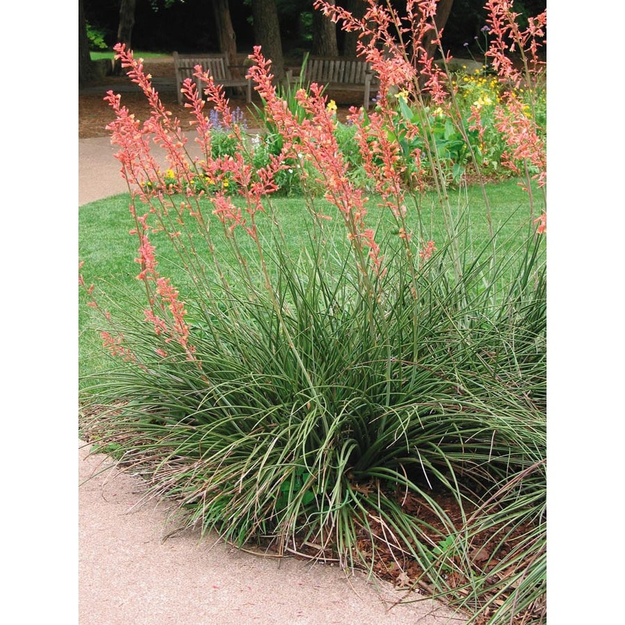 Shop Red Yucca Feature Shrub In Pot With Soil L7029 At Lowes