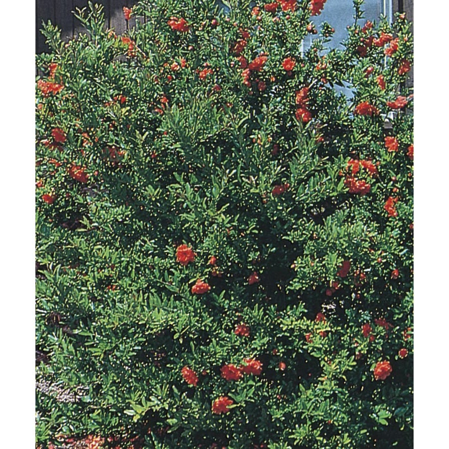 2.5-Gallon Red Dwarf Pomegranate Accent Shrub (L5944)