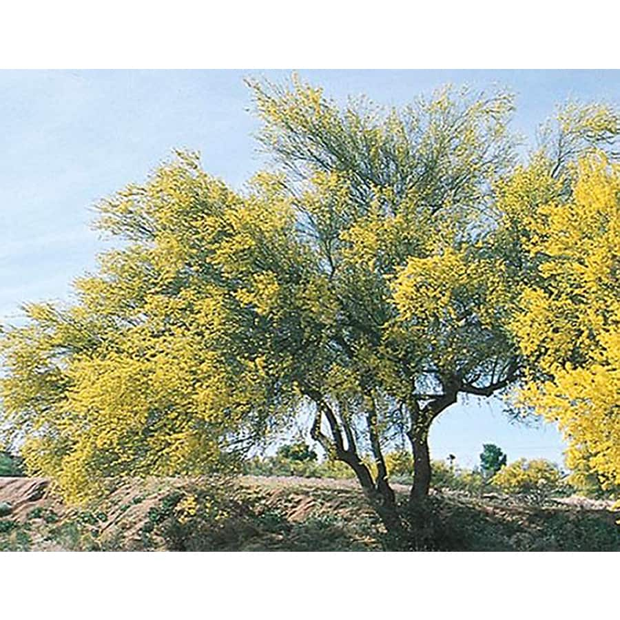 10 25 Gallon Yellow Blue Palo Verde Feature Tree In Pot With Soil