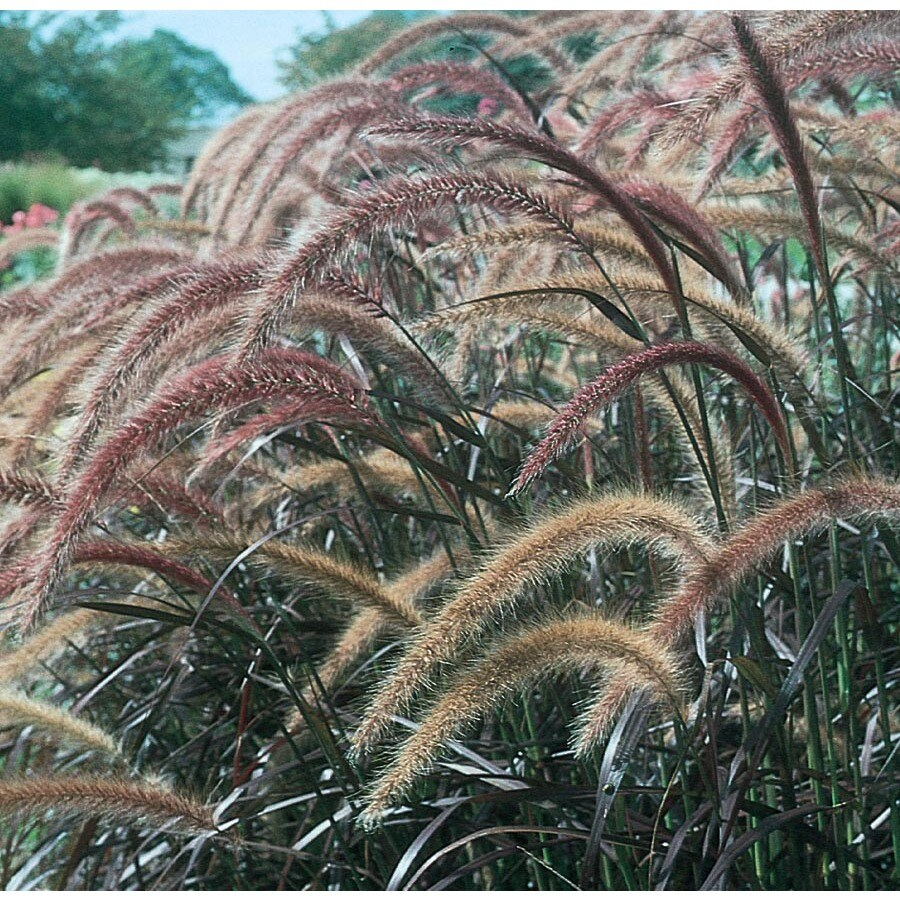 2.5-Gallon Purple Fountain Grass (LW00405)