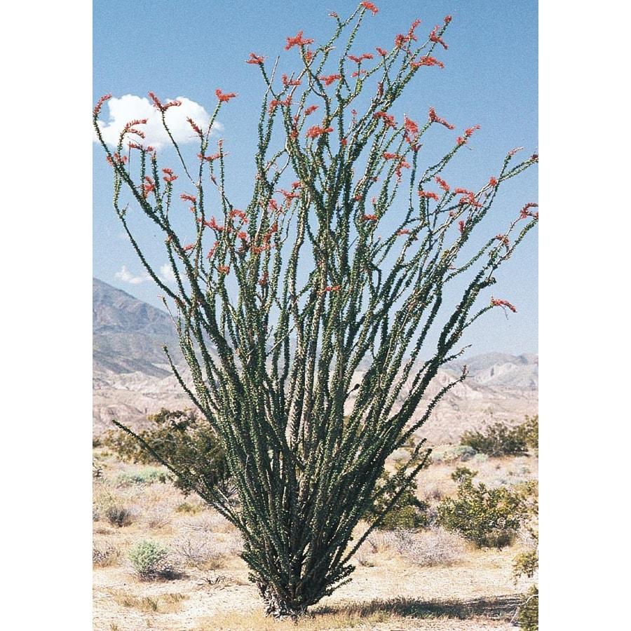 10.25-Gallon Red Ocotillo Feature Shrub (L11107)