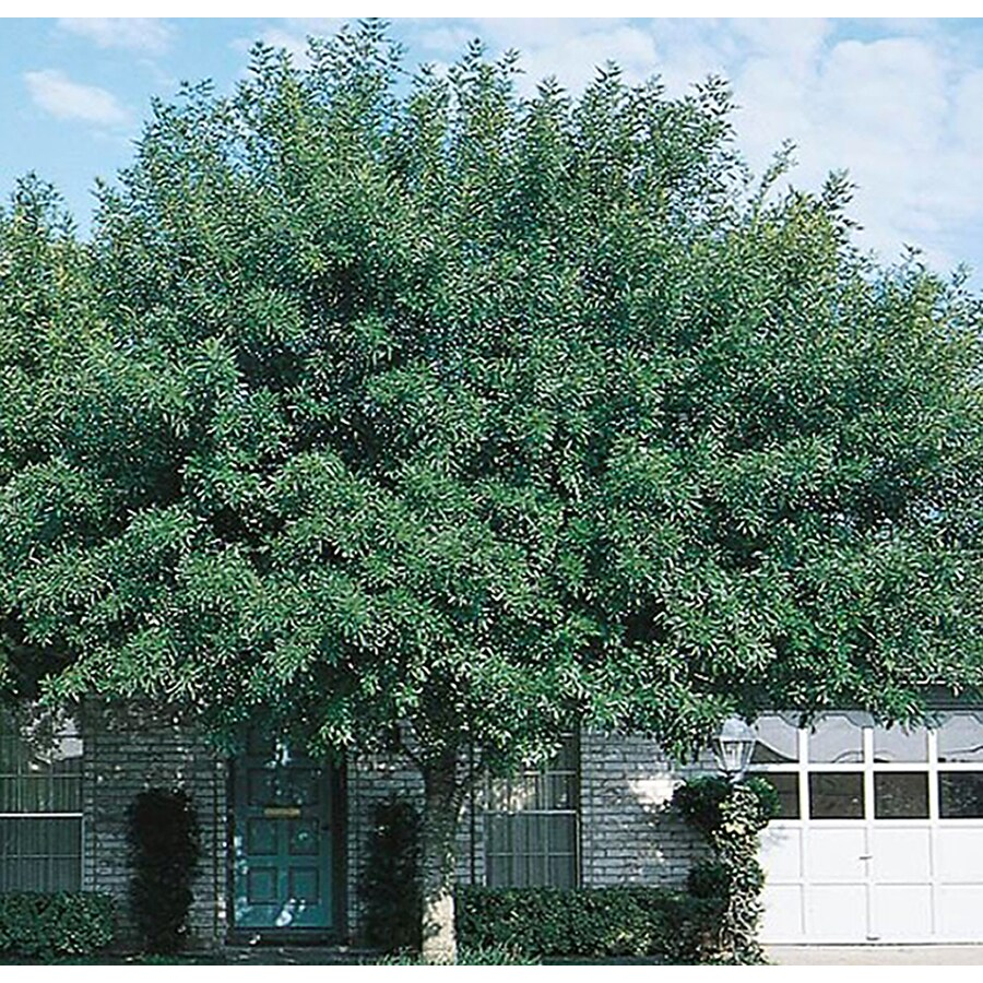 10 25 Gallon Arizona Ash Shade Tree In Pot With Soil