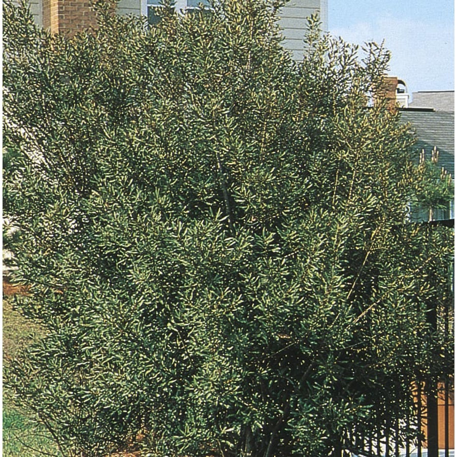 3.5-Gallon Southern Wax Myrtle Screening Shrub (L1370)