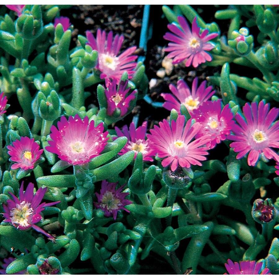 2.5-Gallon Lavender Ice Plant (L2833)