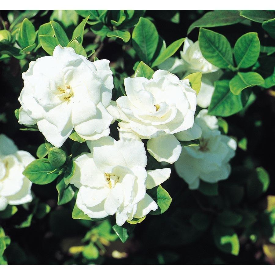3.5-Gallon White Veitchii Gardenia Flowering Shrub (L10719)