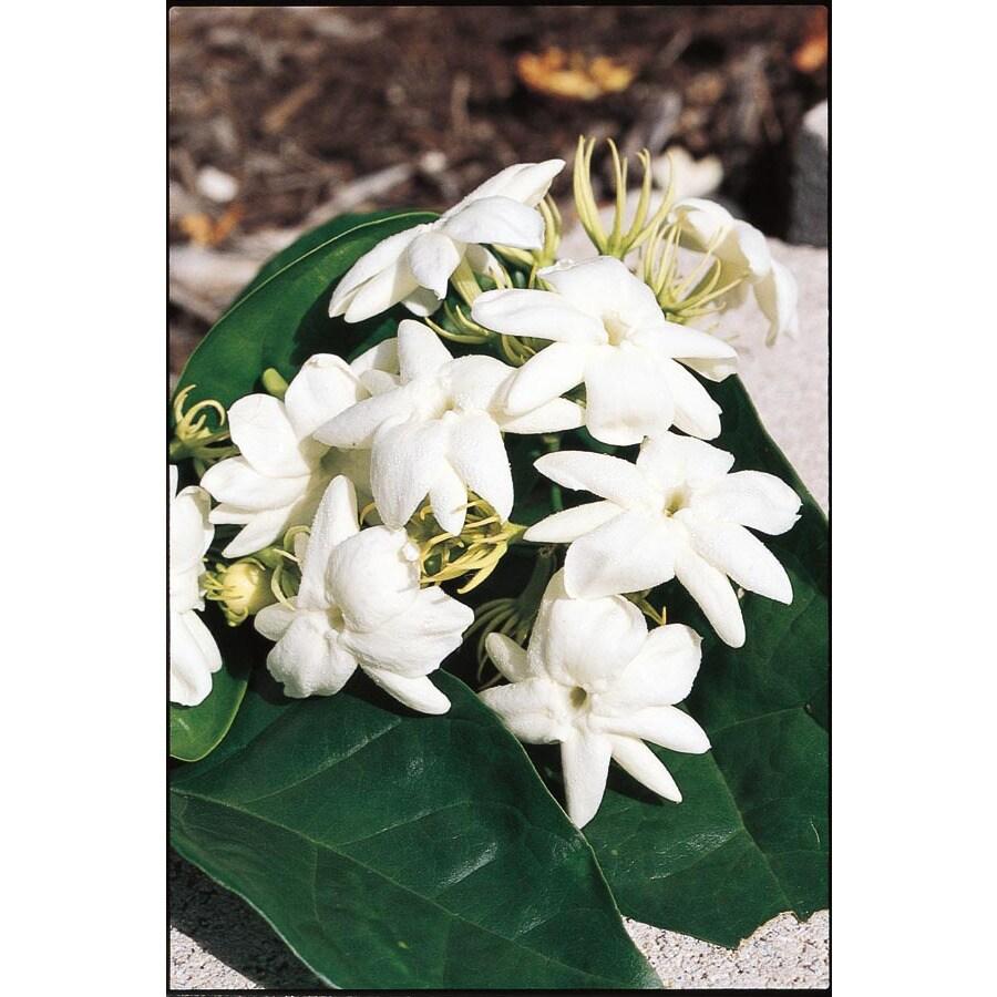 2.5-Gallon White Arabian Jasmine Flowering Shrub (L5922)