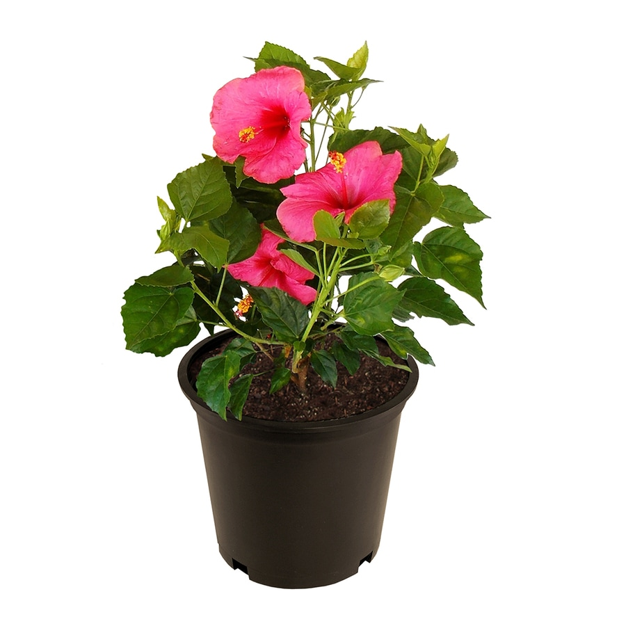 2.25-Gallon Mixed Hibiscus Flowering Shrub