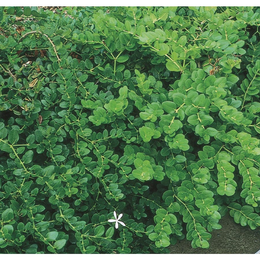 2.5-Gallon White Fancy Natal Plum Foundation/Hedge Shrub (L11695)