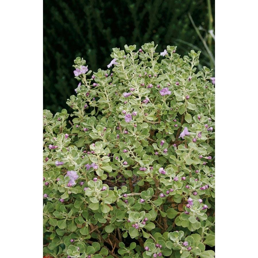 2.5-Gallon Lavender Lynn's Legacy Sage Flowering Shrub (L23608)