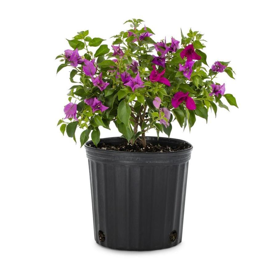 3.5-Gallon Mixed Hybrid Bougainvillea Flowering Shrub (L5710)