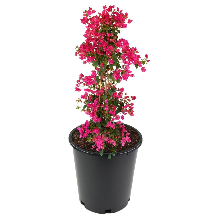 3.5-Gallon Mixed Hybrid Bougainvillea Flowering Shrub (L5710)