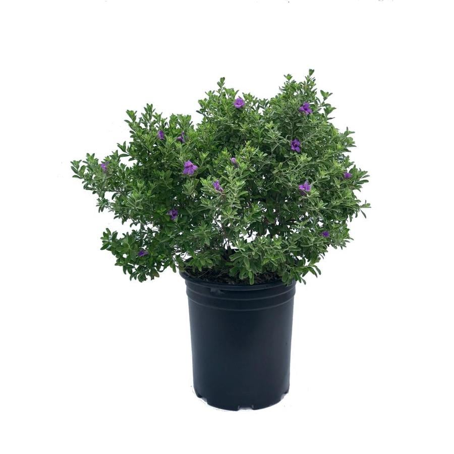 3 5 Gallon Purple Texas Sage Flowering Shrub In Pot L3562