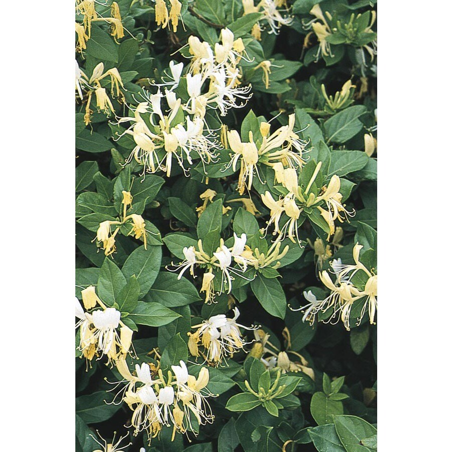 3.5-Gallon Hall's Honeysuckle (L3046)