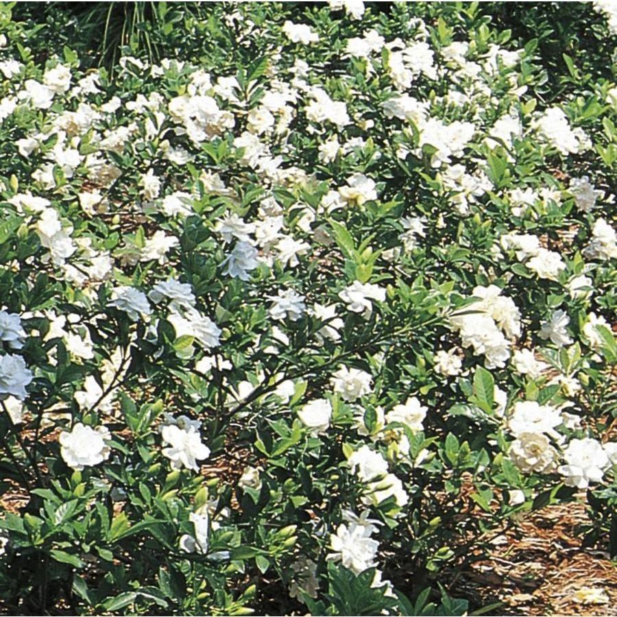 3.38-Gallon White Gardenia Flowering Shrub (L5150)