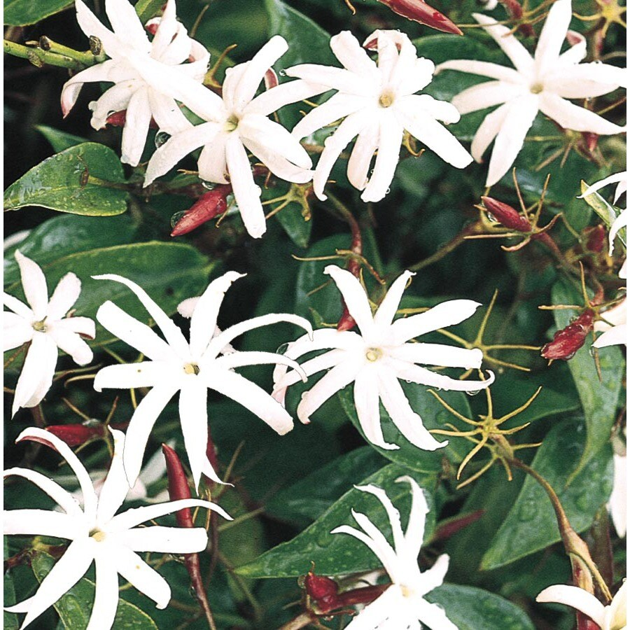 2.5-Gallon Star Jasmine (L8609)