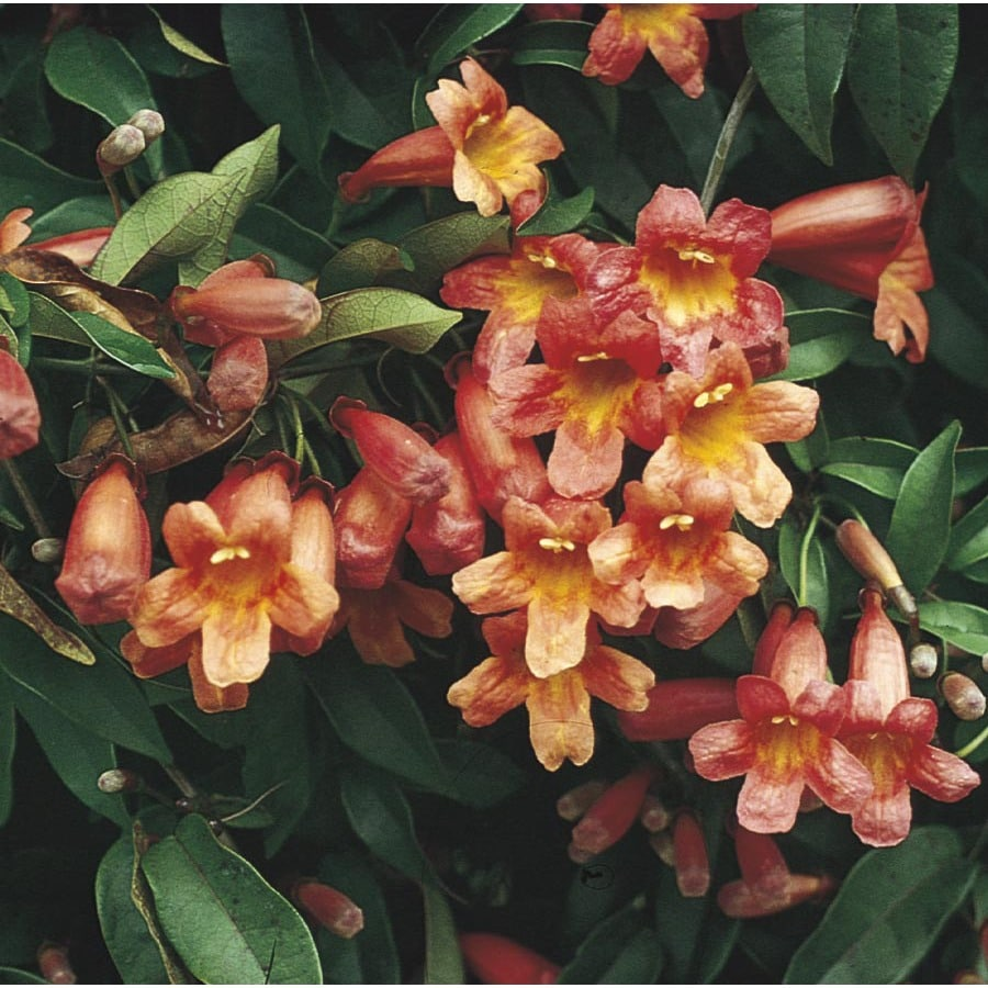 2.5-Quart Tangerine Beauty Cross Vine (L7041)