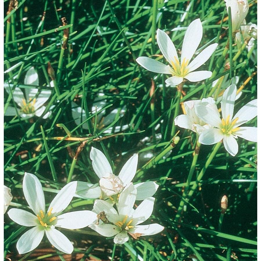 2.5-Quart Zephyr Lily (L4977)