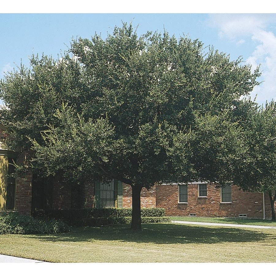 36-in Live Oak Shade Tree (L3670)