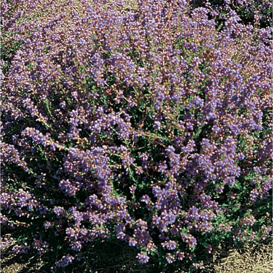 1.25-Quart Mixed Heather Flowering Shrub (L21677)