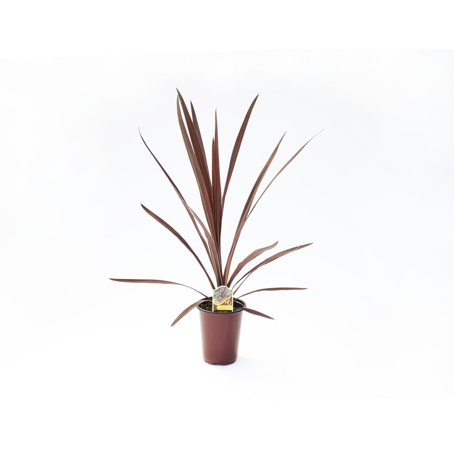 Lawn and Garden Products 1-Quart Cordyline (Lw01509)