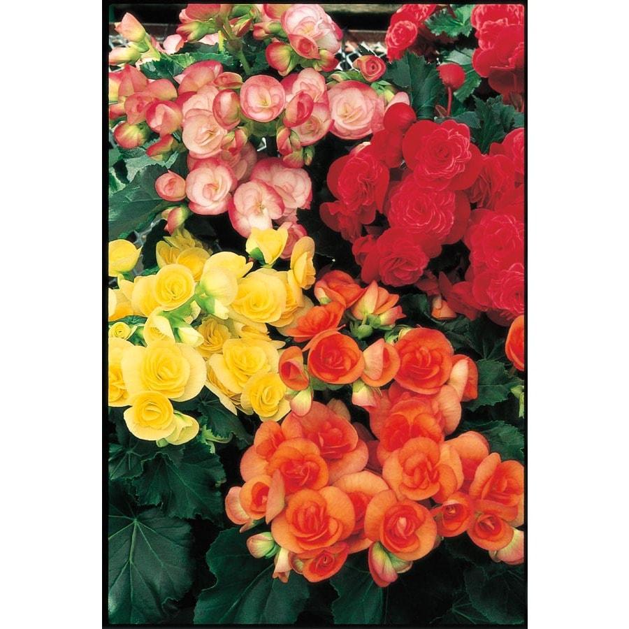 1-Quart Rieger Begonia (L9387)