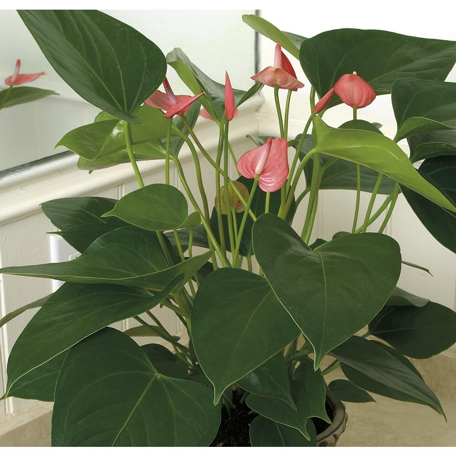 1.25-Quart Anthurium (L20914HP)