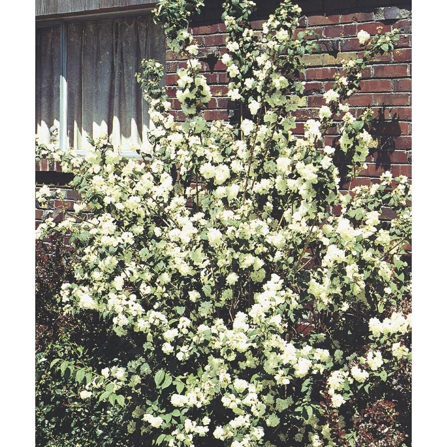 1-Pint White Mockorange Flowering Shrub (L8335)