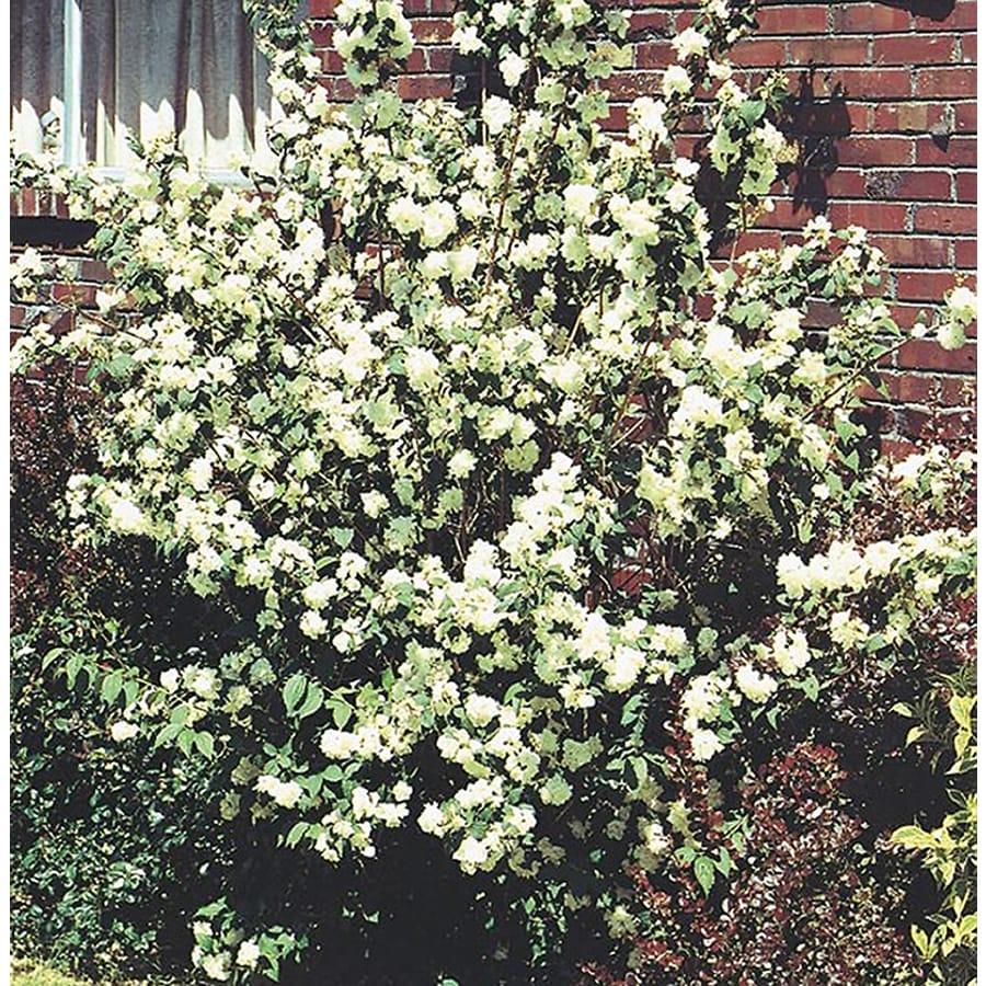 Shop 25 Quart White Mockorange Flowering Shrub L8335 At Lowes